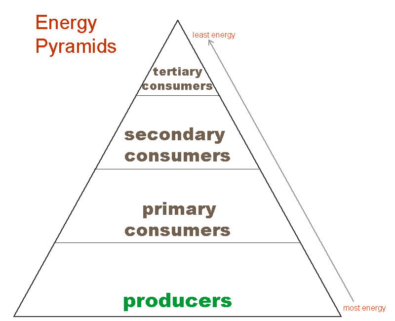 Pics Photos - An Energy Pyramid Example For The Temperate Forest Biome